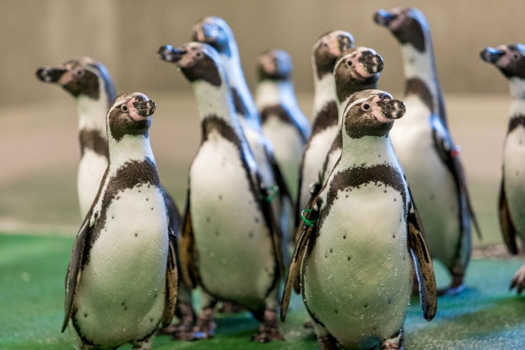 Zdjęcie do wiadomości: Wielki powrót pingwinów